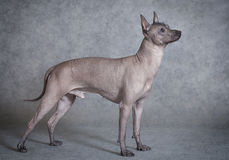 Xoloitzcuintle male dog against grey background Royalty Free Stock Images