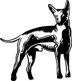 Xoloitzcuintle Mexican hairless Royalty Free Stock Images
