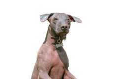 Xoloitzcuintle Mexican Hairless Dog isolated on white Stock Image
