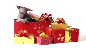 Xoloitzcuintle puppy in a gift box stock footage