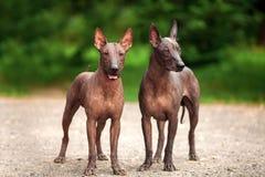 Xoloitzcuintli两条狗养殖,站立户外在夏日的墨西哥无毛的狗 免版税图库摄影