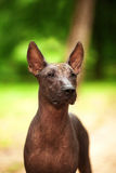 Xoloitzcuintli品种狗,站立户外在夏日的墨西哥无毛的狗 免版税库存照片