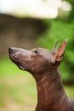 Xoloitzcuintli品种狗,站立户外在夏日的墨西哥无毛的狗 库存图片