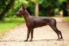 Xoloitzcuintli品种狗,站立户外在夏日的墨西哥无毛的狗 免版税库存图片