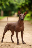Xoloitzcuintli品种狗,站立户外在夏日的墨西哥无毛的狗 免版税图库摄影