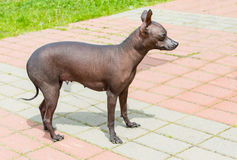 Xoloitzcuintli hairless dog. The Xoloitzcuintli hairless dog stands in the park stock images