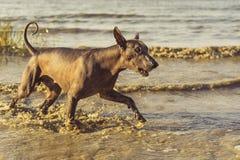 Xoloitzcuintli mexicano despido do cão que joga com uma bola de tênis em um Sandy Beach entre ondas do mar no verão imagem de stock