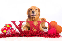 XOXO Golden Retriever Dog on Valentine's Day. A beautiful Golden Retriever Dog laying down in Valentine's Day decorations Stock Image