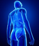 Xray digestive system of male body artwork Royalty Free Stock Photos