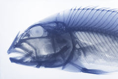 Xray Of A Fish. Xray Of A Piranha Fish Royalty Free Stock Image