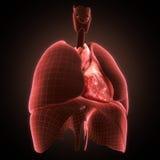 Xray heart illustratio. Anatomicaly accurate Stock Photos