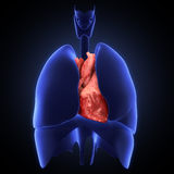 Xray heart illustratio. Anatomicaly accurate Royalty Free Stock Image