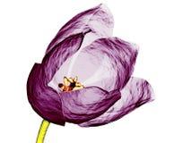 Xray image of a tulip flower isolated on white stock illustration