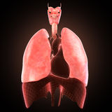 Xray lungs illustration. 3d render Stock Photo