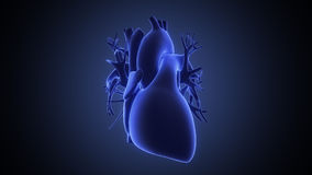 Xray view of human heart Royalty Free Stock Images