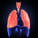 Xray view of human lungs Royalty Free Stock Images