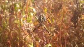 Xspider. Spider awating to cach its pray in the sunny heat Royalty Free Stock Images