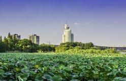 Xuanwu Lake Lotus stock image