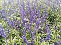 XunYiCao (Lavendel) Stock Foto's