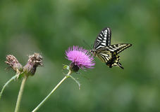 Xuthus Papilio ï ¼ van Butterflyï ¼ stock afbeeldingen