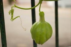 Xuxu vegetable royalty free stock photography