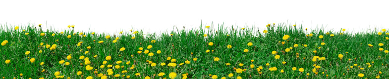 XXL size. Green grass meadow with dandelions Royalty Free Stock Photography