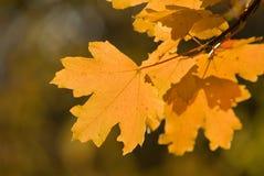 xxxl размера листьев изображения осени Стоковая Фотография RF