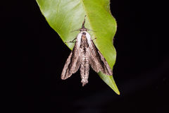 Xyleutes moth Stock Image