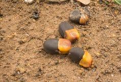 Xylocarpa de Afzelia Fotos de archivo libres de regalías