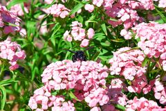 Xylocopa Bug Bee on Flowers Stock Photo. Xylocopa Bug Bee on Flowers Summer Stock Photo royalty free stock image