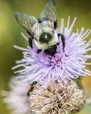 Xylocopa de la abeja de carpintero Fotos de archivo