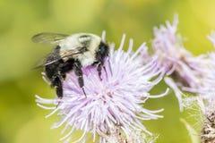 Xylocopa de la abeja de carpintero Fotografía de archivo