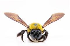 Xylocopa de la abeja de carpintero Imagen de archivo libre de regalías