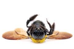 Xylocopa de la abeja de carpintero Foto de archivo libre de regalías
