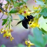 Xylocopa de la abeja de carpintero en la naturaleza Fotos de archivo libres de regalías