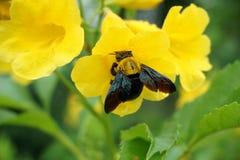 Xylocopa latipes auf gelber Blume Stockfoto
