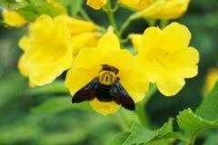 Xylocopa latipes auf gelber Blume Stockbilder