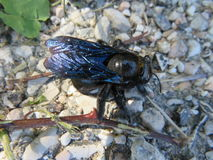 The Xylocopa violacea Stock Photography