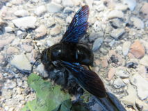 The Xylocopa violacea Royalty Free Stock Image