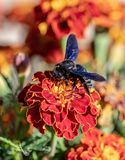Xylocopa violacea, the violet carpenter bee on flowers. Macro view of European carpenter bee Xylocopa violacea collecting pollen from flower royalty free stock image
