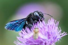 Xylocopaviolacea, det violetta snickarebiet Royaltyfri Bild