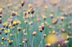 Xyridaceae full bloom yellow fields. Look naturally beautiful. Stock Photography