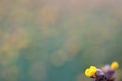 Xyridaceae full bloom yellow fields. Look naturally beautiful. Stock Photo