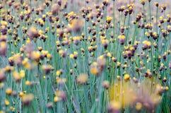 Xyridaceae full bloom yellow fields. Look naturally beautiful. Stock Image