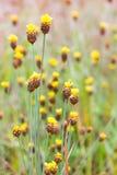 Xyridaceae koloru żółtego kwiatów roślina Fotografia Royalty Free