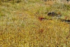 Xyris pauciflora Willd.flower (XYRIDACEAE) auf Boden Stein Stockfoto