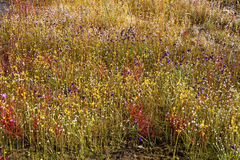 Xyris pauciflora Willd.flower (XYRIDACEAE) Blüte mit mehr flowe Stockbilder