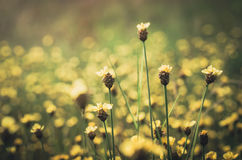 Xyris yellow flowers vintage Royalty Free Stock Photo