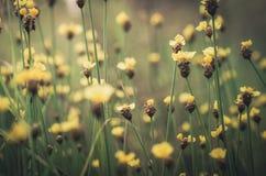 Xyris yellow flowers vintage Royalty Free Stock Photography