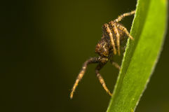 Xysticus Stock Photography